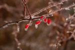 Barberry, aweandthensome, aweandthensome photography, David Goorevitch, art photogrtaphy, ice storm, toronto