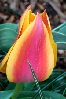 Multicoloured tulip_01225_sm