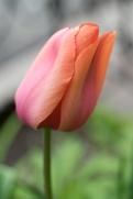 Teardrop tulip_01241_sm